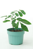 Plant in a Pot Royalty Free Stock Photos