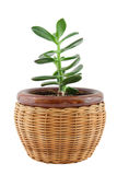 Plant in the pot. Isolated on white stock image