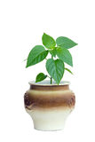 Plant in a pot Royalty Free Stock Photo