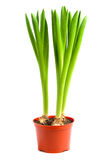 Plant in pot Royalty Free Stock Photography