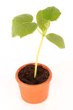 Plant in pot Royalty Free Stock Photo