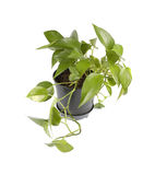 Plant in pot. Plant in black pot isolated Royalty Free Stock Photography