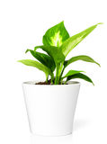 Plant in pot Royalty Free Stock Photos