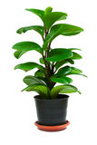 Plant On The Pot Stock Photography
