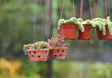 Plant in the pot hang. Succulent plants in the pot hang in the garden royalty free stock images