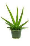 Plant is in the pot Royalty Free Stock Photography