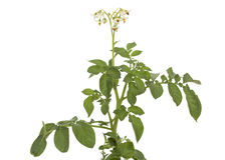Plant potato. Potato bush with flower on white background stock images