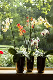 Plant pots with Moth Orchids in window royalty free stock photos
