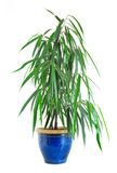 Plant in pottery Royalty Free Stock Photo