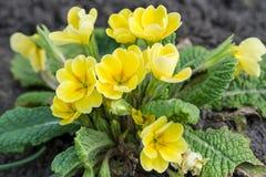 Plant Primula acaulis mix Royalty Free Stock Image