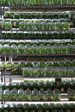 Plant propagation in the glass bottle Stock Photos