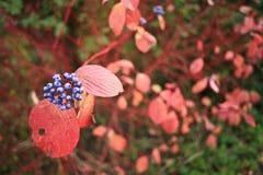 Plant with purple berries Stock Photo