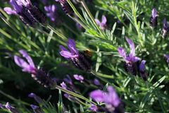 Plant, Purple, Flora, French Lavender Stock Image