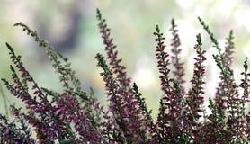 Plant, Purple, Flower, Lavender stock image