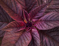 Plant with purple leaves closeup Stock Photo