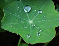 Waterdrops on leaves. A plant after a rain with waterdrops Stock Photos