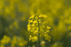A plant of rapeseed. Brassica napus in a field in springtime Stock Images