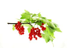 Plant with red berries. Leafy green plant with ripe red berries, white background Royalty Free Stock Photography