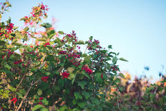 Plant and red berries Royalty Free Stock Image