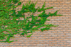 Plant on red brick. Green plant on red brick-wall royalty free stock image
