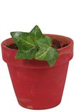 Plant in red ceramic pot. Leafy green plant in red ceramic pot, isolated on white background Stock Photos