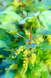 Plant red currant with green berries on the branch, summer. Fresh unripe red currant berries on the branch, summer Stock Photos