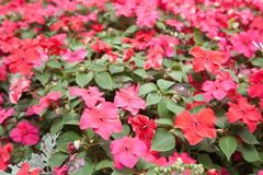 Plant of red flowers Royalty Free Stock Photo