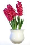 Plant with red flowers. Plant with red flowers isolated on white background Royalty Free Stock Photos