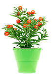 Plant with red fruit Royalty Free Stock Photo