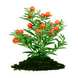 Plant with red fruit Royalty Free Stock Image