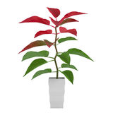 Plant with red and green leaves in the pot Royalty Free Stock Photography