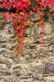 Plant with red leaves on stone wall Stock Image