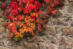 Plant with red leaves on stone wall Royalty Free Stock Photos