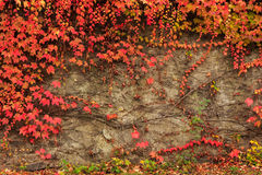 Plant with red leaves on stone wall Royalty Free Stock Images