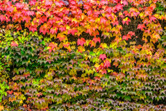 Plant with red leaves on stone wall Stock Images