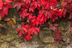 Plant with red leaves on stone wall. Climbing plant with red leaves and blue berries in autumn on the old stone wall Royalty Free Stock Photos