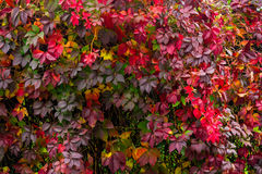 Plant with red leaves on a wall. Climbing plant with red leaves on a wall Stock Photos