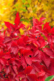 Plant with red leaves on a yellow foliage background Stock Images