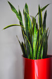 Plant in a red pot. (Sanseviera tall optimum Stock Images