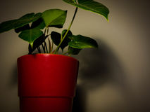 Plant in a red pot Stock Images