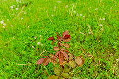 A plant of a red rose without flowers. stock photo