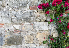 A plant of red roses next to a brick wall Stock Image