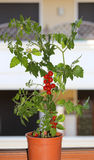 Plant of red tomatoes in the balcony of a house Royalty Free Stock Image