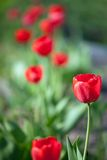 Plant of red  tulips Stock Images