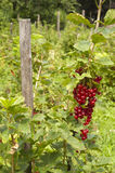Plant of redcurrant Royalty Free Stock Images