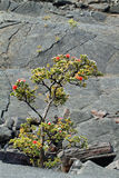 Plant with ref flower in Kilauea Iki Crater Stock Photo
