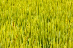 The plant of rice Royalty Free Stock Image