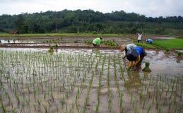 Plant rice Royalty Free Stock Photos