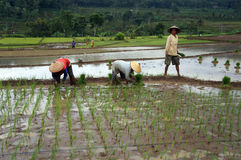 Plant rice Royalty Free Stock Photo