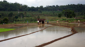Plant rice Stock Photos